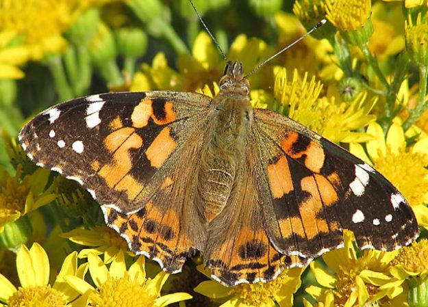 Painted Lady (Upperside). Photo: Penny Hawes