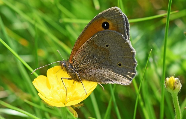 Meadow Brown sideways, on a buttercup