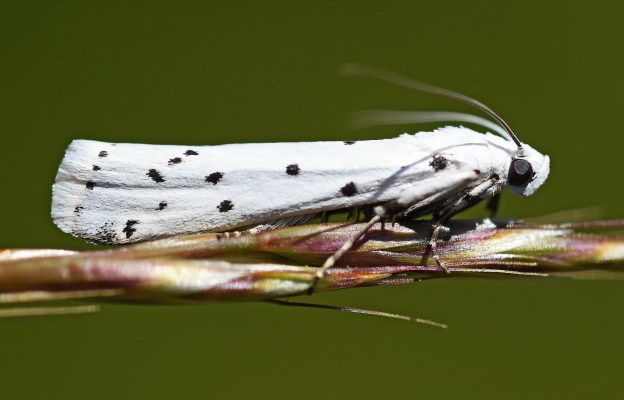 White moth with black spots along a twig