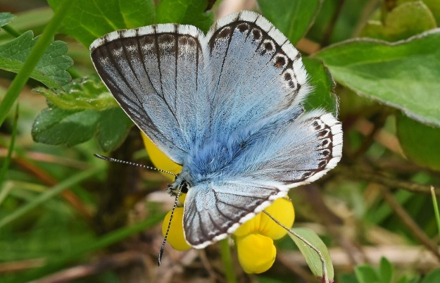 Chalkhill Blue with open wings on a yellow flower