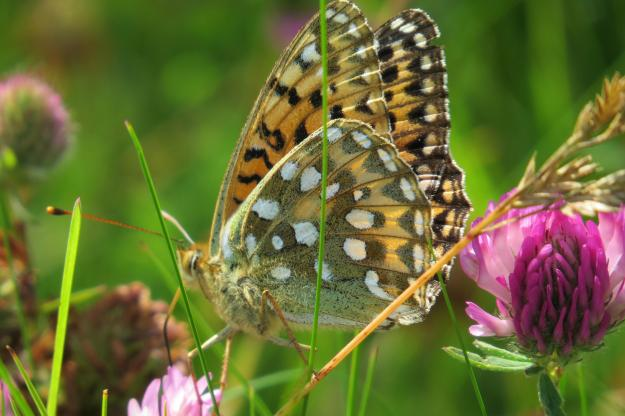 Side view of a butterfly with slightly open wings, among grass and red clover