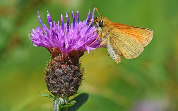 Tiny orange butterfly on a knapweed flower