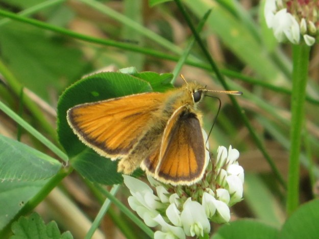 Essex Skipper nectaring on a white clover flower