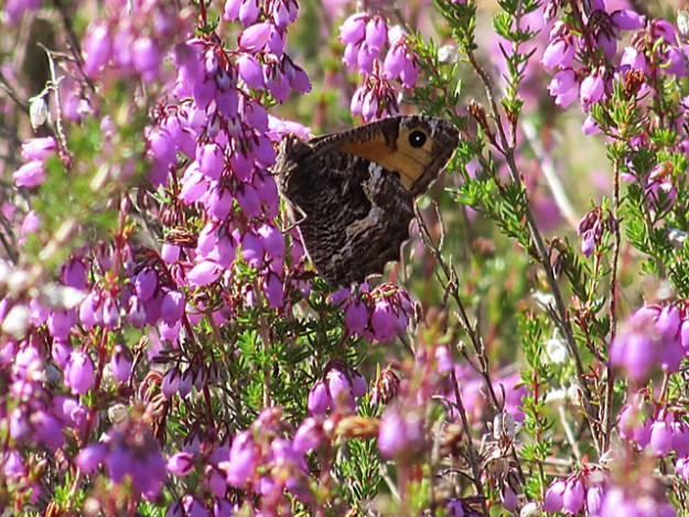 Grayling in among heather flowers