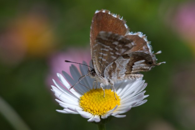 view of Geranium Bronze butterfly on a daisy