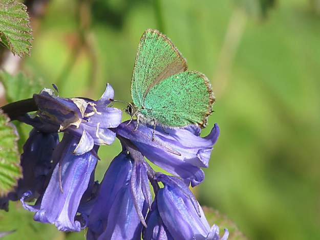 View of a Green Hairstreak on a Bluebell