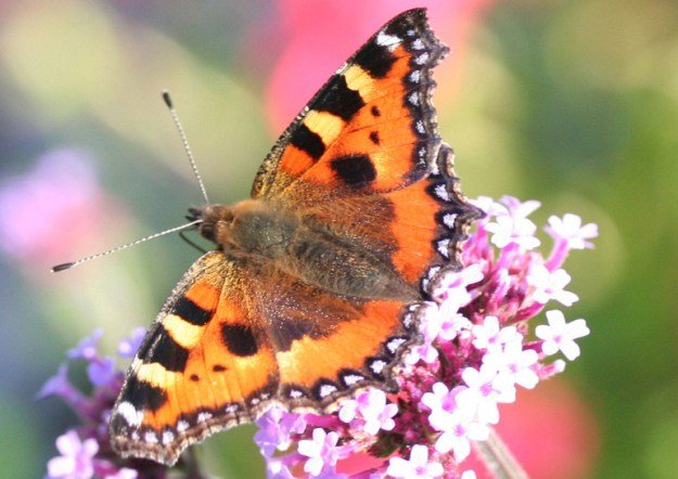 Small Tortoiseshell butterfly on flower