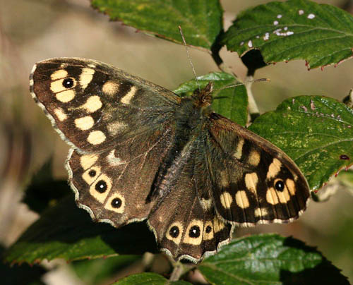 Speckled Wood (not the one reported). Photo: Lawrie de Whalley.