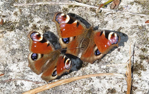 Two Peacock butterflies on the ground, one just behind the other