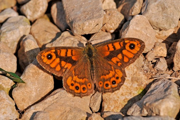 Wall butterfly with wings open, sunning itself on some stones