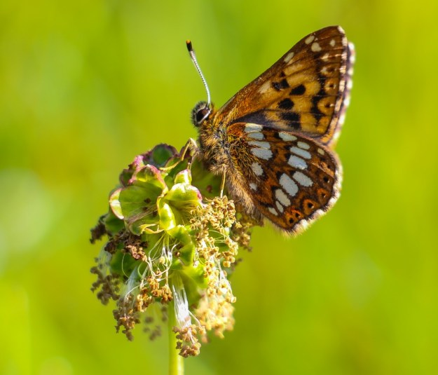 Sideways shot of a Duke of Burgundy clinging to a seed head.
