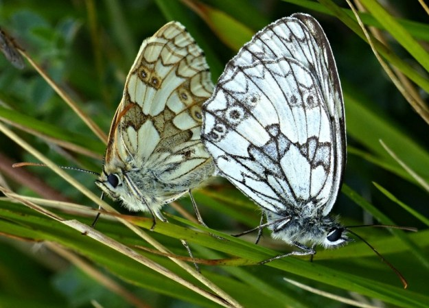 Marbled Whites mating
