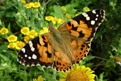 Painted Lady at Alners Gorse