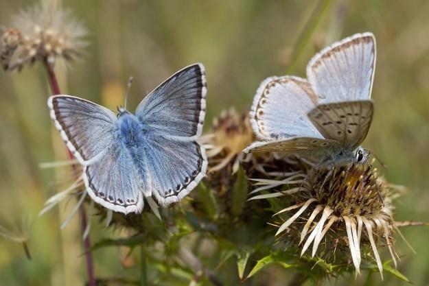 Chalkhill Blue males