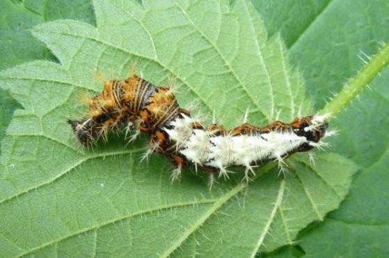 Comma Caterpillar