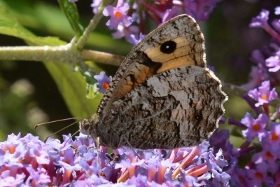Mainly brown butterfly with graduated markings, on a purple buddleia flower.