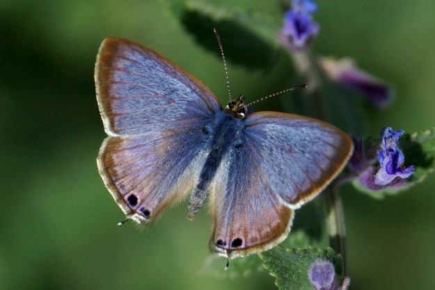 Long-tailed Blue (Upperside)