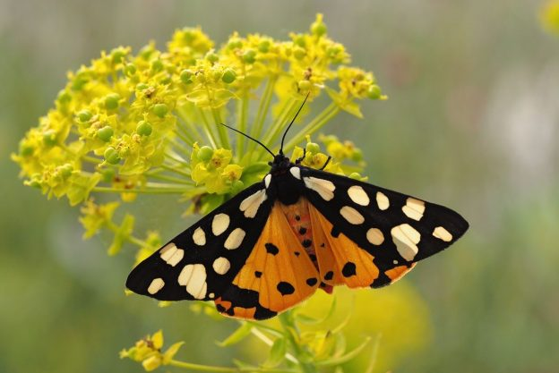 Cream-spot tiger moth with wings fully open, showing the orange with black dots underwings