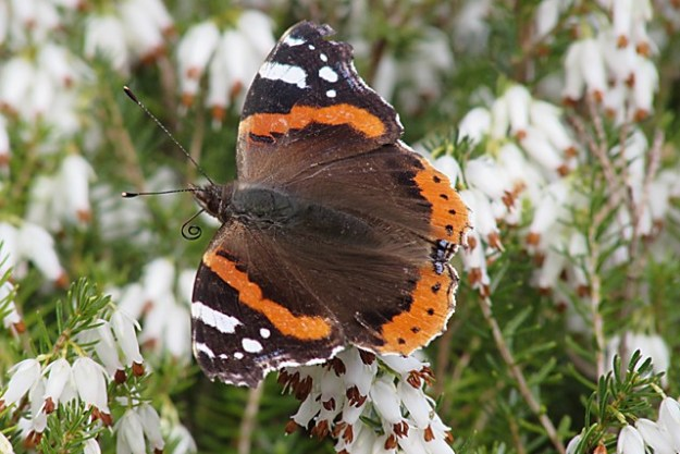 Red Admiral. Photo: Penny Hawes
