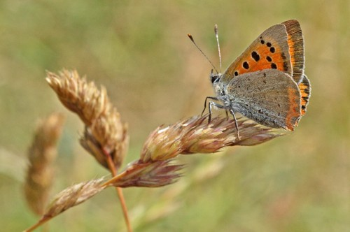 Side view of a Small Copper on the end of a brown grass seed head