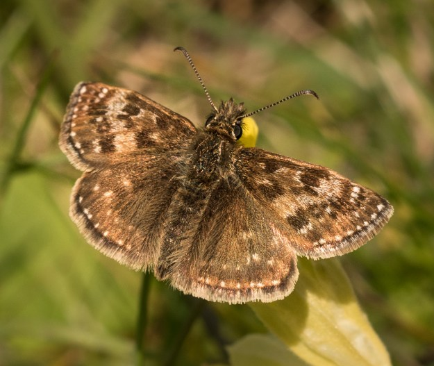 dingy Skipper with open wings