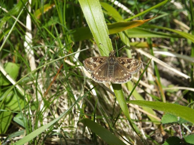 Dingy Skipper with open wings on a leaf.
