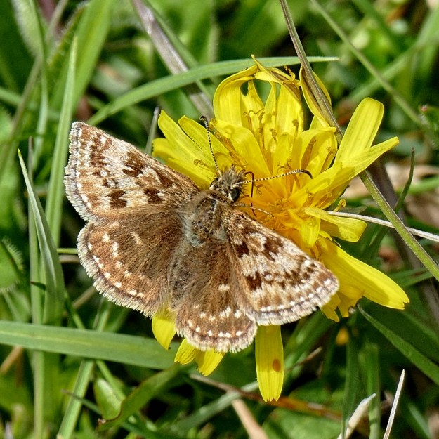 Dingy Skipper with open wings on a dandelion type flower