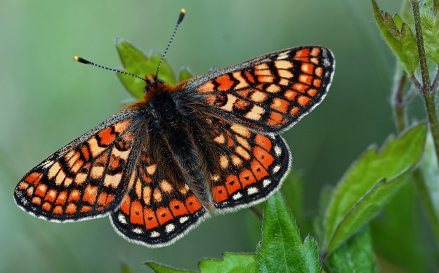 Fresh looking Marsh Fritillary with open wings