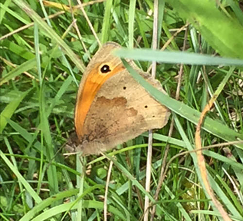 Side veiw of a Meadow Brown resting on grass