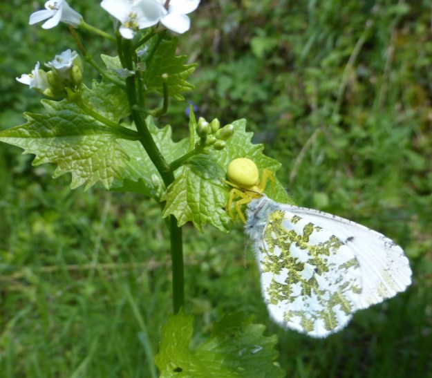 Crab spider eating an orange tip butterfly
