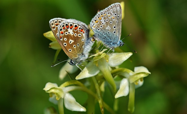 Sideways view of two butterflies mating