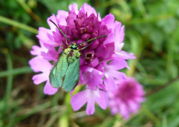 Bright Green moth on a bright pink flower