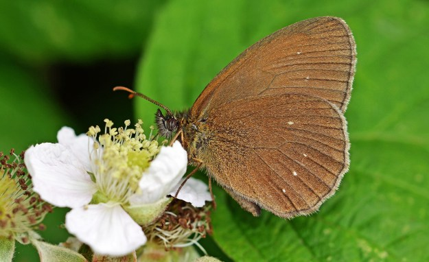 Ringlet underwings with no rings, only a few small white dots