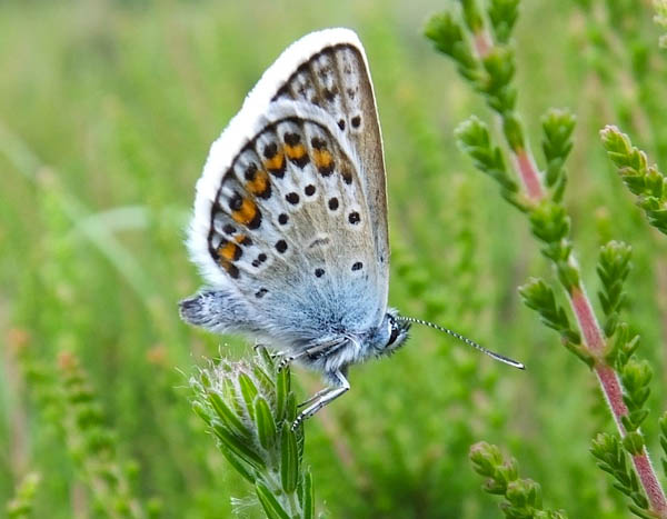 Silver-studded Blue side view of the under-wing with orange and black spots