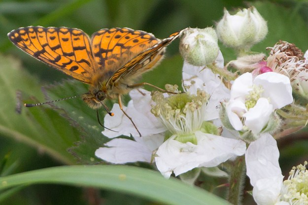 Small Pearl-bordered Fritillary on a bramble flower
