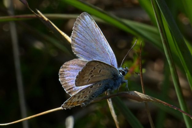 Silver-studded Blue. Photo: Brian Arnold