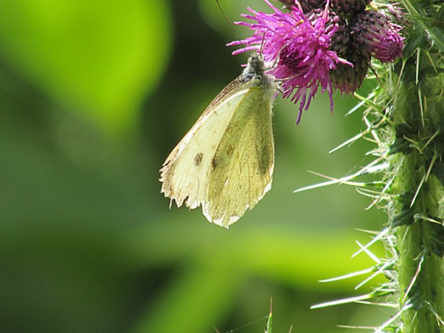 A very battered looking Small White clinging underneath a thistle flower