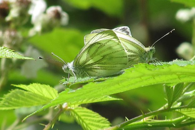 Green-veined White pairing. Photo: Penny Hawes