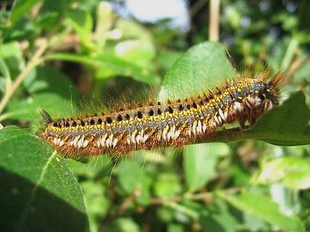 Drinker caterpillar. Photo: David Wareham