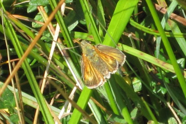 Lulworth Skipper. Photo: John Kirwin