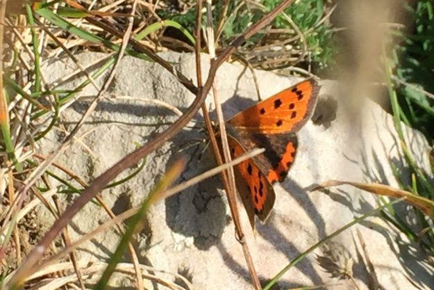 Small Copper basking. Photo: Elaine Conlon