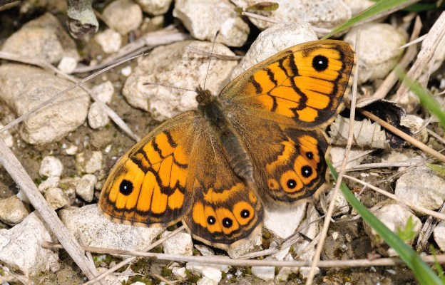 Wall Brown (female). Photo: Bob Eade