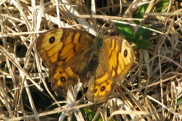 Wall Brown (Upperside). Photo: Brian Arnold