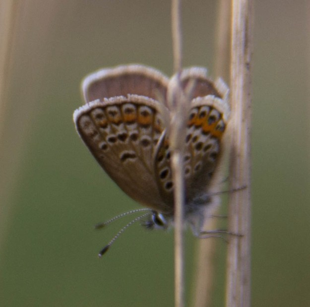 Silver-studded Blue on a grass stalk, with another grass stalk in the way