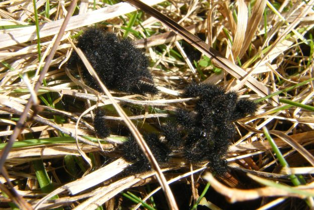 Lots of small black furry caterpillars among dry grass