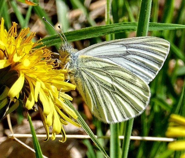 Underwing shot of a Green-veined White, showing the veins very clearly