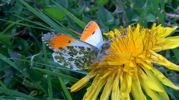Male Orange Tip on a dandelion flower