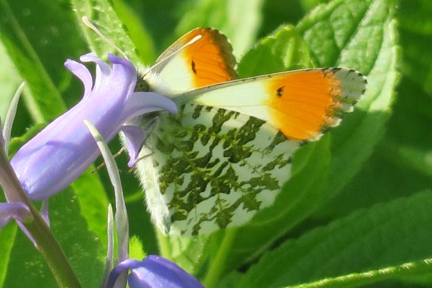 Male Orange Tip with its head inside a bluebell flower.