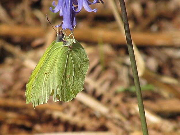 Two pictures of a Brimstone hanging from the bottom of a bluebell flower.