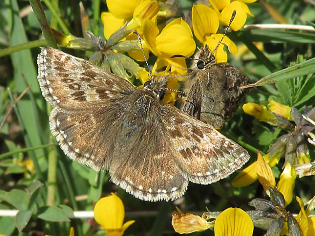 Dingy Skipper with open wings on yellow flowers
